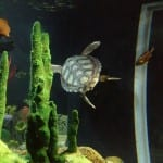 Riesenschildkroete_Oceanarium