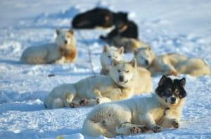 Danish sled dogs in Alert, Nunavut