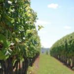 Vineyards_Trius