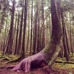 Riesen-Bäume haben Riesen-Wurzeln