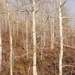 Schlangenbäume bei Mount White