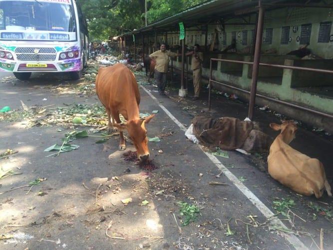 Kuh nach dem Markt