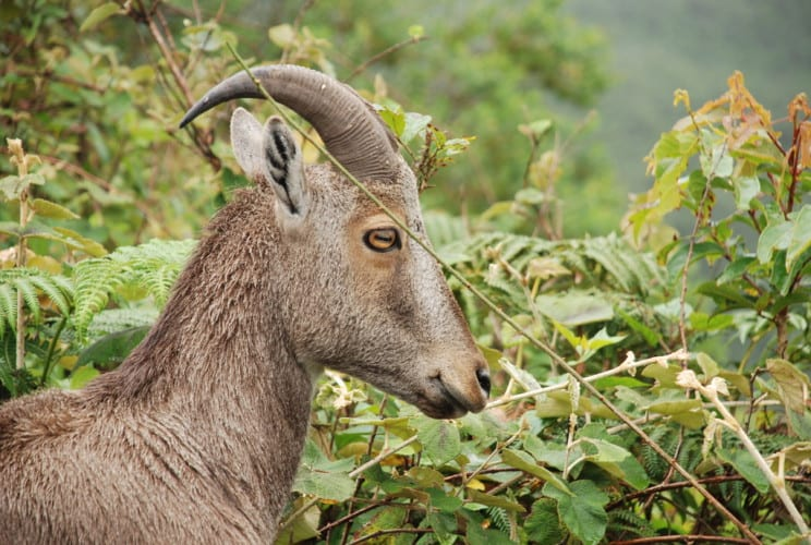 Bergziege im Nationalpark Munnar