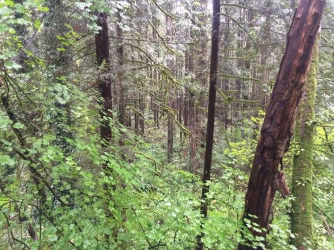 Rainforest in Lynn Valley