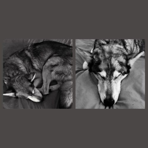 Ace - sleepy wolf
