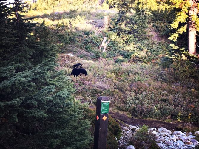 Bären beim Beerenlesen