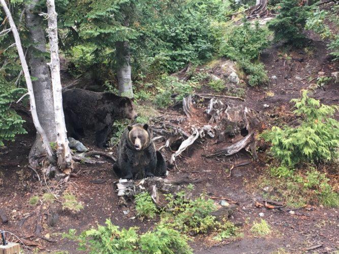 Grizzleybären