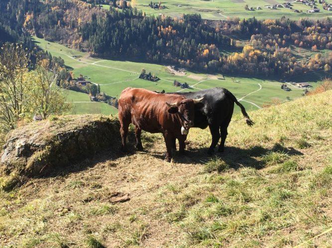 Kleine Rinder