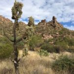 Cholla Kaktus
